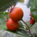Weissdorn Fruchtstand Crateagus 03