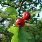 Weissdorn rote Frucht Crataegus cf aronia 02