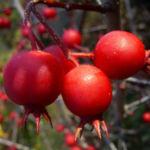 Weissdorn rote Fruechte Crataegus viridis 03