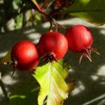 Weissdorn rote Fruechte Crataegus viridis 04