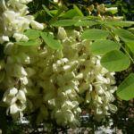 Weisse Robinie bluehend Robinia pseudo acacia 02