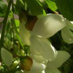 Weisse Robinie bluehend Robinia pseudo acacia 06