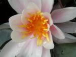 Weisse Seerose Bluete weiss gelb Nymphaea alba 05