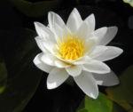 weiße seerose bluete weiß nymphaea alba 01