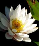 Weisse Seerose Bluete weiss Nymphaea alba 06