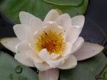Bild:  Weiße Seerose Blüte weiß Nymphaea alba