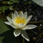 Weisse Seerose Nymphaea alba candida 02