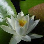 Weisse Seerose Nymphaea alba candida 03
