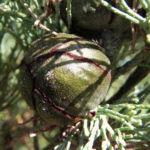 Weisse Zypresse Baum Frucht gruen Callitris glaucophylla 08