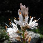 Weisser Affodil Bluete weiss Asphodelus albus 02