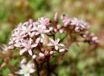 Bild:  Weißer Mauerpfeffer Blüte rose Sedum album