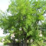 Weisser Maulbeerbaum Frucht weiss Morus alba 03
