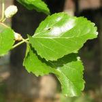 Weisser Maulbeerbaum Frucht weiss Morus alba 05