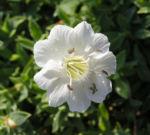 Weisskehlchen Leimkraut Bluete weiss Silene uniflora 02