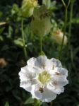 Bild:  Weisskehlchen Klippen-Leimkraut Blüte weiß Silene uniflora