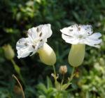 Weisskehlchen Leimkraut Bluete weiss Silene uniflora 06