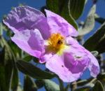 Bild:  Weißliche Zistrose Blüte pink Blatt grün Cistus albidus