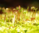 Welliges Katharinenmoos gruen Artrichium undulatum 04