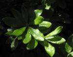 Westliche Azalee Bláetter gruen Rhododendron occidentale 05