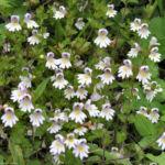 Wiesen Augentrost Bluete weiss Euphrasia rostkoviana 09 1