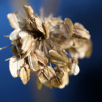 Wiesen Baerenklau Herbstdolde braun Heracleum sphindylium 02