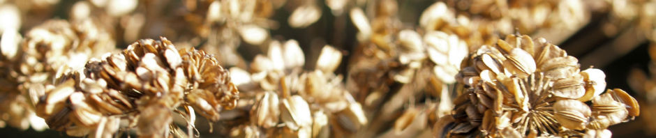 wiesen-baerenklau-herbstdolde-braun-heracleum-sphindylium