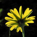 Wiesen Bocksbart Bluete gelb Tragopogon pratensis 06