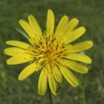Wiesen Bocksbart Bluete gelb Tragopogon pratensis 10
