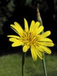 Wiesen Bocksbart Bluete gelb Tragopogon pratensis 11
