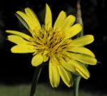 Wiesen Bocksbart Bluete gelb Tragopogon pratensis 12