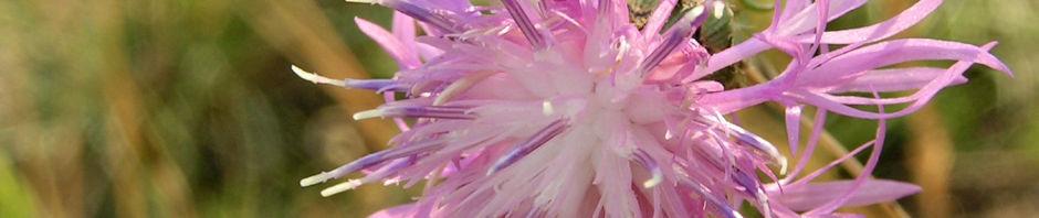 wiesen-flockenblume-bluete-pink-centaurea-jacea