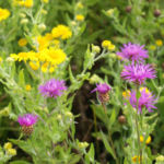 Wiesen Flockenblume Bluete purpurrot Centaurea jacea 07