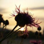 Wiesen Flockenblume Bluete purpurrot Centaurea jacea 09