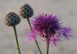 Wiesen Flockenblume Bluete purpurrot Centaurea jacea 11