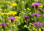 Wiesen Flockenblume Bluete purpurrot Centaurea jacea 12