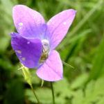Wiesen Glockenblume Bluete hell pink Campanula patula 01