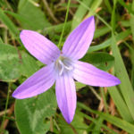 Wiesen Glockenblume Bluete hell pink Campanula patula 02