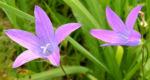 Wiesen Glockenblume Bluete hell pink Campanula patula 03
