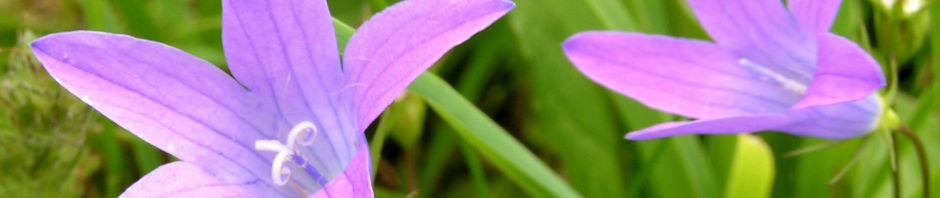 wiesen-glockenblume-bluete-hell-pink-campanula-patula