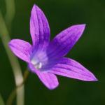 Wiesen Glockenblume Bluete lila Campanula patula 01