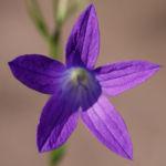 Wiesen Glockenblume Bluete lila Campanula patula 04