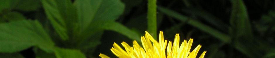wiesen-loewenzahn-bluete-gelb-taraxacum-officinale