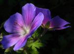 Wiesen Storchschnabel Bluete lila Geranium pratense 08