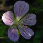 Wiesen Storchschnabel Bluete lila Geranium pratense 11