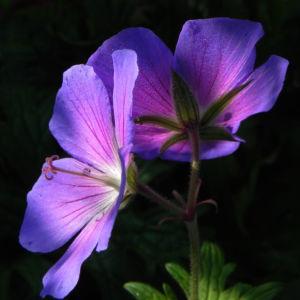 Wiesen Storchschnabel Bluete lila Geranium pratense 12