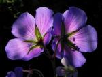 Bild:  Wiesen-Storchschnabel Blüte lila Geranium pratense