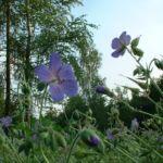 Wiesen Storchschnabel Geranium pratense 01