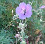 Wiesen Storchschnabel Geranium pratense 02