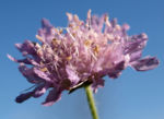 Wiesen Witwenblume Bluete lila Knautia arvensis 08
