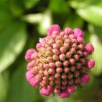 Wiesen Witwenblume Bluete pink Knautia arvensis 04